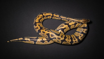 Photo of ball python's noose