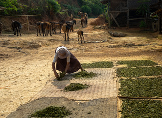 Green Tea Drying. Old man is laying out fresh green tea to dry in a remote Palaung village near Kyaukme, Shan State, Myanmar.