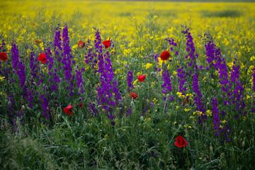 Field flowers. Poppies, purple flowers and Rapeseed. Springtime in Bulgaria.