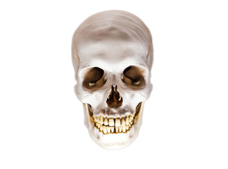 Isolated anatomical homo sapiens scarry himan skull model