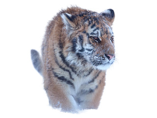 Isolated on white, young Siberian tiger, Panthera tigris altaica, walking directly at camera.  Winter.