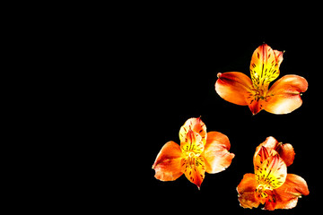 Three orange flowers with black background