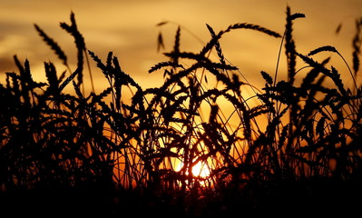 File photo of wheat seen during sunset in a field of Solgonskoye farming company in village of Solgon