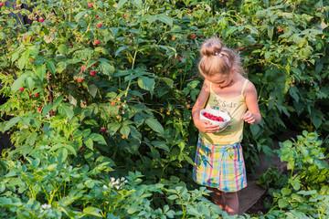 Adorable little girl picking raspberries in a garden