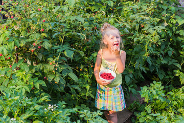 Girl eats raspberries from the bush. Little girl collects raspberries.