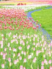 北海道のチューリップ畑