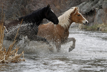 Horses cross a river as they are gathered with approximately 350 horses during Montana Horses' spring drive outside Three Forks