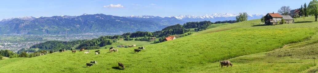Wall Mural - entspannt grasende Kühe und Rinder auf einer Bergwiese in der Ostschweiz