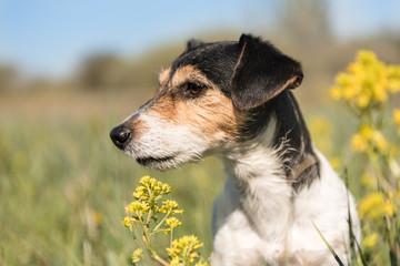 Hundportrait in einer Blumenwiese - Jack Russell Terrier 7 Jahre alt