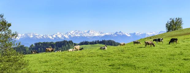 Wall Mural - grasende Rinder auf einer Almweide