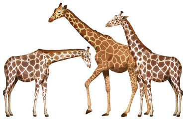 Three tall giraffes on white background