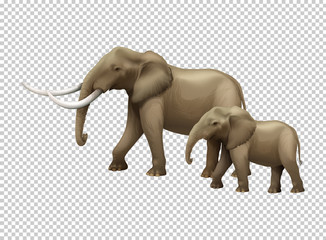 Wild elephants on transparent background