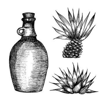 Cactus blue agave. plant hand drawn illustration on white background. Ingredient for traditional medicine, treatment, body care, cooking or gardening. Succulent. Engraving style.