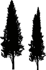 two cypresses isolated on white