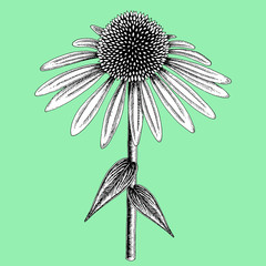 Coneflower colored in black and white on color background. Stylized blossom sketched with ink vector illustration.