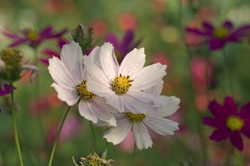 Cosmos bipinnatus / garden cosmos /  Mexican aster