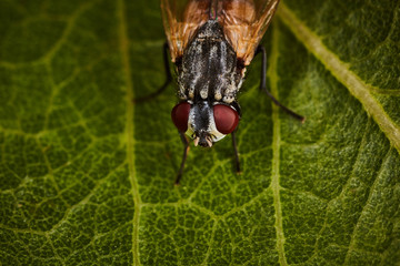 Extreme macro of fly eyes with leaf background