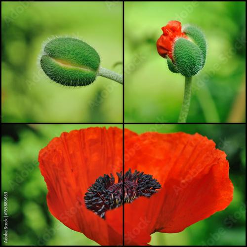 Composition Format Carre De L Epanouissement D Une Fleur De Pavot