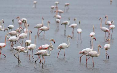 Flamingos walk in Donana natural park in El Rocio, southern Spain