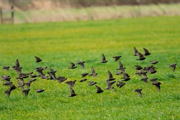 A flock of small black birds flies over a green field