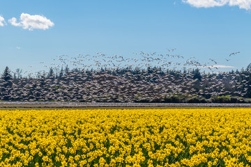 Flying geese on the field of daffodils.