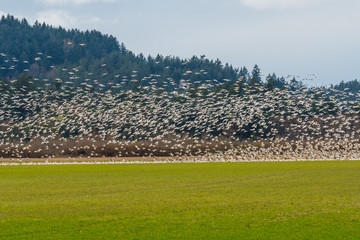 Flying geese on the field.