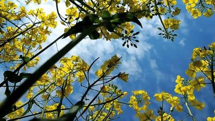 Fotoväggar - Rapspflanzen von unten nach oben