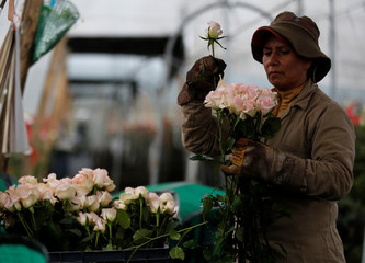 An employee picks flowers to be exported overseas, ahead of Valentine's Day, at a farm in Facatativa