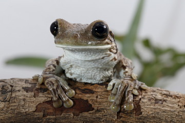 A Trachycephalus venulosus frog is pictured at a terrarium in Caracas