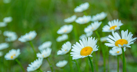 White Daisies In Field