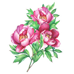 The bouquet flowering pink peonies, isolated on white background. Watercolor hand drawn painting illustration.