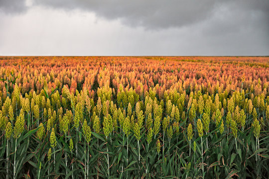 field of sorghum, named also durra, jowari, or milo