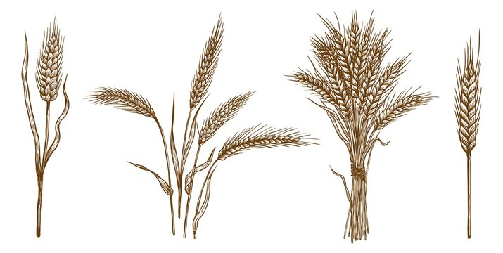 ears of wheat. set of vector sketches