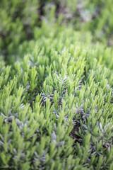 Organic gardening. Rosemary plants