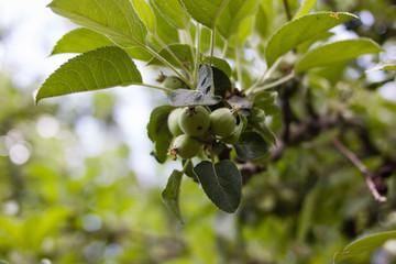 Hazelnuts on a tree