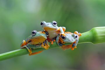 Wall Mural - Tree frog, Rhacophorus reinwardtii