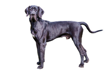 Great Dane on white.  The Great Dane on the white background.