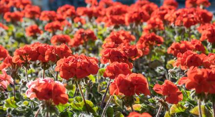 Живописный летний сад. Цветущая красная герань