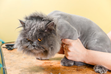 Persian cat sheared in the beauty salon