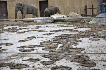 Elephant footprints are left in the mud deposited during flooding at the Calgary Zoo in Calgary