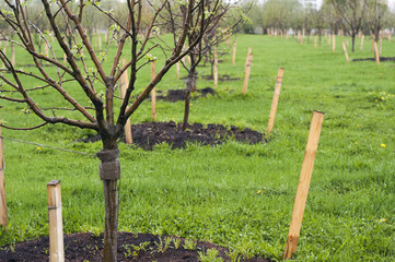 Planting young apple trees in the orchard in the spring