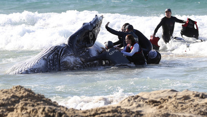 Marine rescue workers from Sea World attempt to help a juvenile humpback whale stranded at Palm Beach on the Gold Coast, in Queensland