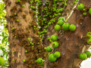 Jaboticaba tree with a lot of green fruits