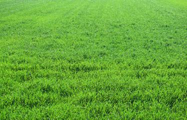 春の小麦畑