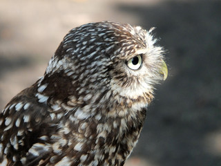 little owl in close up profile