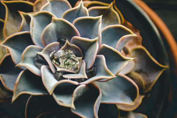 Water in Colorful Succulent