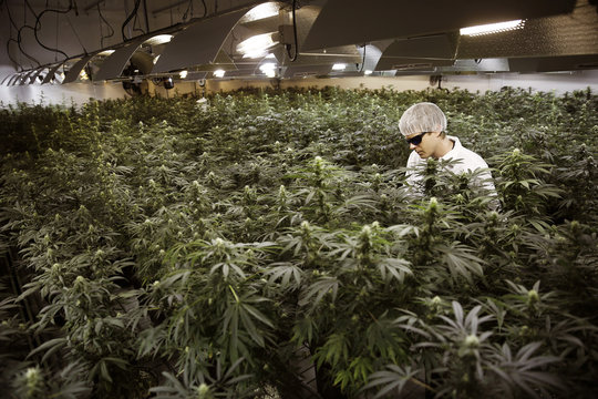 Master Grower Douglas waters marijuana plants in a growing room at Tweed Marijuana Inc in Smith's Falls