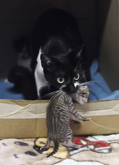 A surrogate domestic cat holds a baby margay in a pet shelter in Medellin