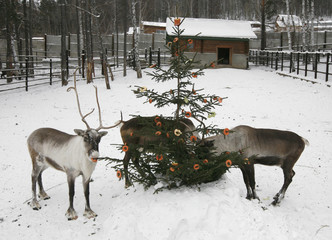 Reindeer eat slices of apples, carrots and cabbage attached to a Christmas tree at the Royev Ruchey zoo in Krasnoyarsk