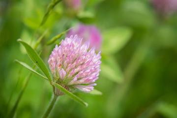 Close up of a clover (trifolium) flower